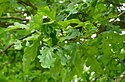 Click image for larger version.  Name:quercus-robur-leaf1.jpg Views:11 Size:82.0 KB ID:114526