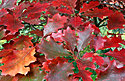 Click image for larger version.  Name:red-oak-leaves.jpg Views:10 Size:308.0 KB ID:114530