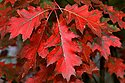 Click image for larger version.  Name:quercus_rubra_1_b.jpg Views:12 Size:35.1 KB ID:114531