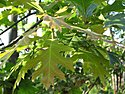 Click image for larger version.  Name:Quercus-rubra-1_1200_900_90_s.jpg Views:12 Size:302.6 KB ID:114534