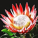 Click image for larger version.  Name:390Protea_cynaroides_2.jpg Views:84 Size:45.8 KB ID:101514
