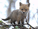 Click image for larger version.  Name:runt_of_the_red_fox_litter_by_lartdenature.jpg Views:13 Size:30.0 KB ID:114070