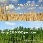 Hemp vs Wheat